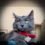 Jolie photo de chat avec son collier rouge