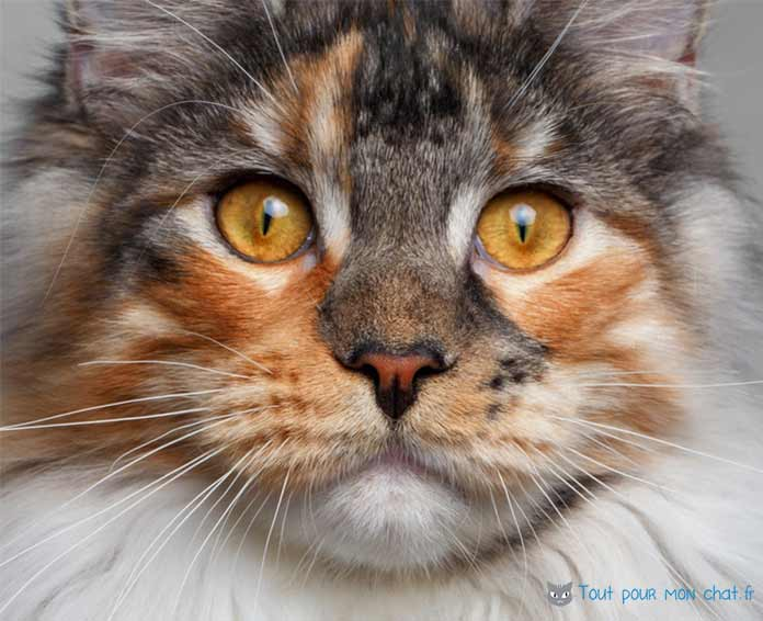 maine coon chat de race