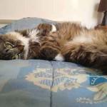 chat à poils longs