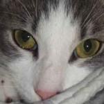 Regard de chat aux yeux verts