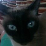 Chat aux yeux bleus siamois