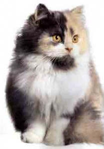 chat calico couleur