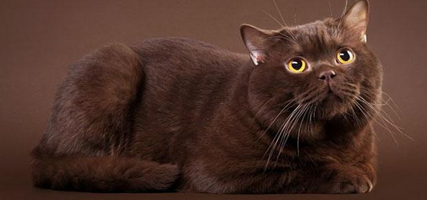 chat couleur chocolat