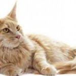 chat maine coon creme