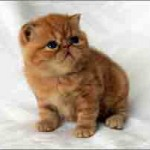 Chaton exotic shorthair
