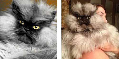 chat rigolo très poilu