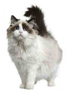 ragdoll chat adulte