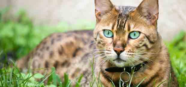 Tout pour mon chat le site officiel du chat - Chat du bengal gratuit ...