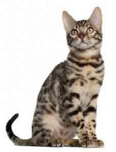 chat de race bengal