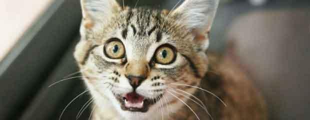 chat miaule nuit