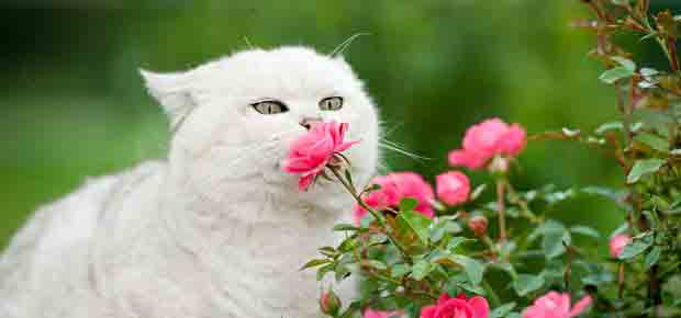 odorat chat