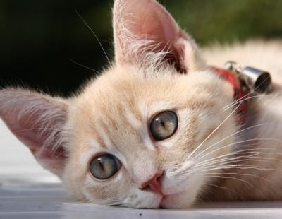 offrir un collier chat