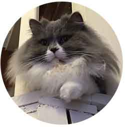 teddy chat british longhair profil