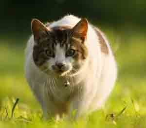 gros-chat