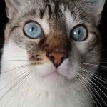 Chat yeux bleu