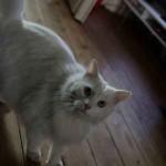chat blanc poil long