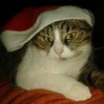 chat bonnet de noel
