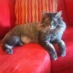 chat crinière