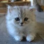 chaton le plus mignon du monde