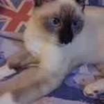chaton yeux bleu
