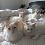 groupe de chat blanc