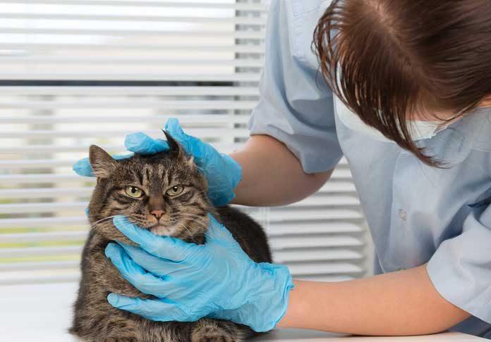 Parasites du chat archives tout pour mon chat - Enlever les puces sur un chaton ...