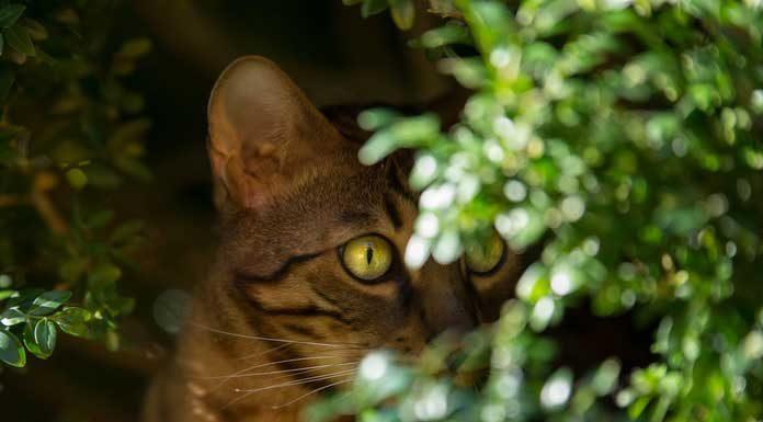 caractère chat bengal comportement